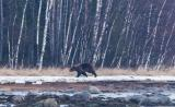 5.Медведь услышал приближающуюся моторную лодку и убежал..jpg