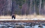 2. Медведь на берегу острова Олений. Весна 2017 г..jpg