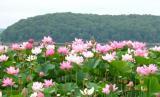 Лотсы цветы.jpg